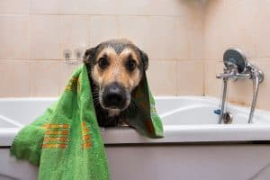 How To Treat Scabies On Your Dog Or Cat