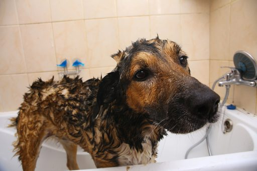 dog being treated for scabies