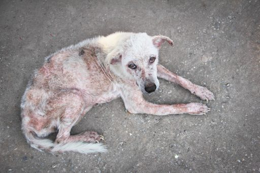dog with scabies